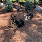 German Shephards from Wake Forest, NC